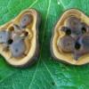 Knöpfe aus Eibe // yew tree buttons